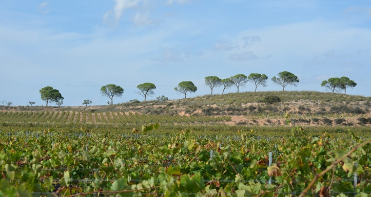 The Monastrell has a wide range of aromas related with the Mediterranean forest. /LBA