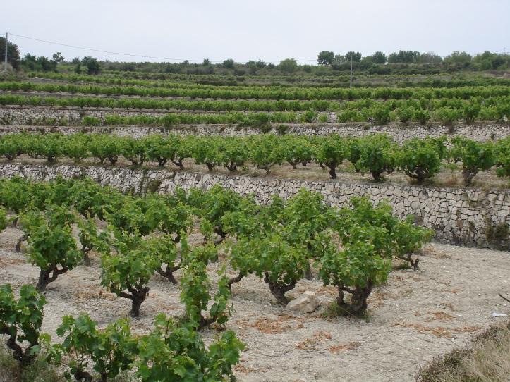 Viñas de Moscatel en La Marina / bodegasgutierrezdelavega.wordpress.com