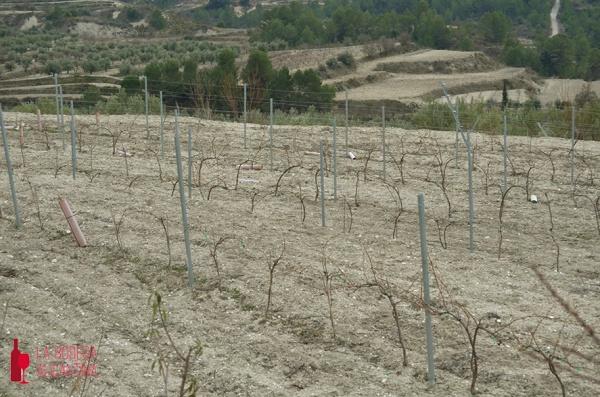 Imagen de un viñedo de Viognier de la bodega Vins del Comtat.