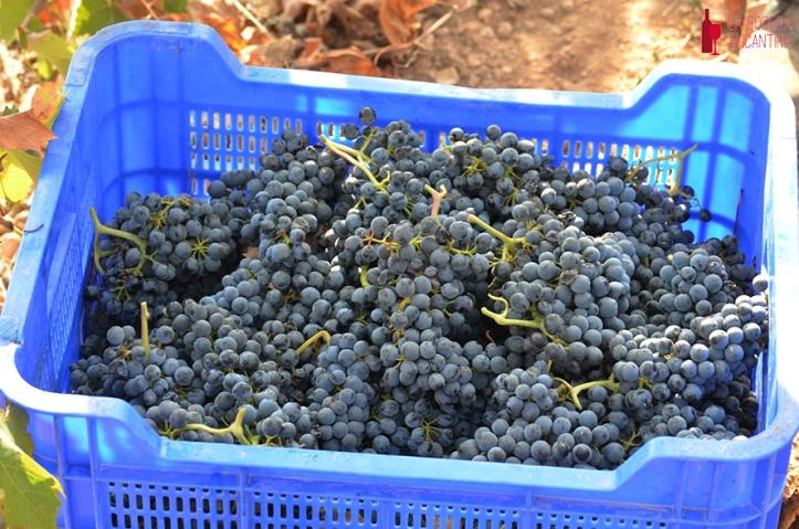 La comienza desde la vendimia de la uva.