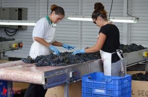Una selección manual de los racimos ayuda al control sanitario de la uva.