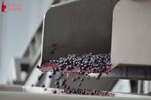 La selección grano a grano permite asegurar el buen estado de la uva para la elaboración del mosto.