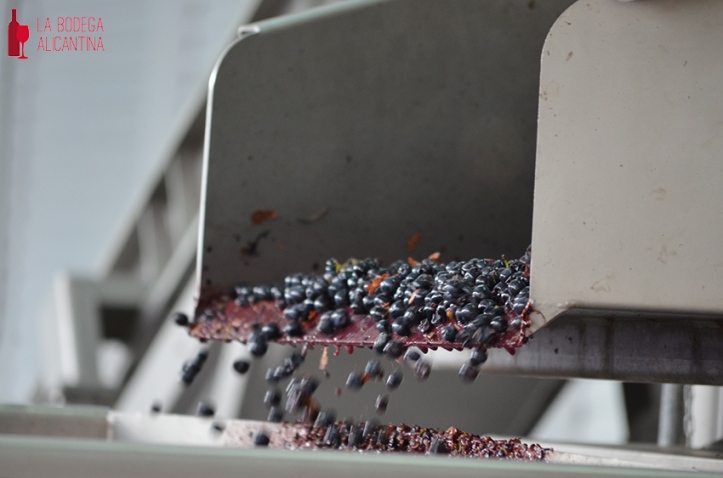 The grain to grain selection ensures the good condition of the grapes for elaborating the wine. /LBA